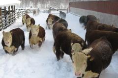 sonnivasikat_lumessa